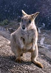 picture of a young wallaby