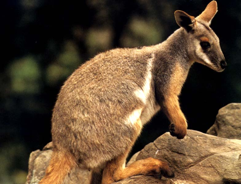 Wallaby groups